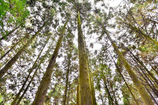 檜山巨木群步道