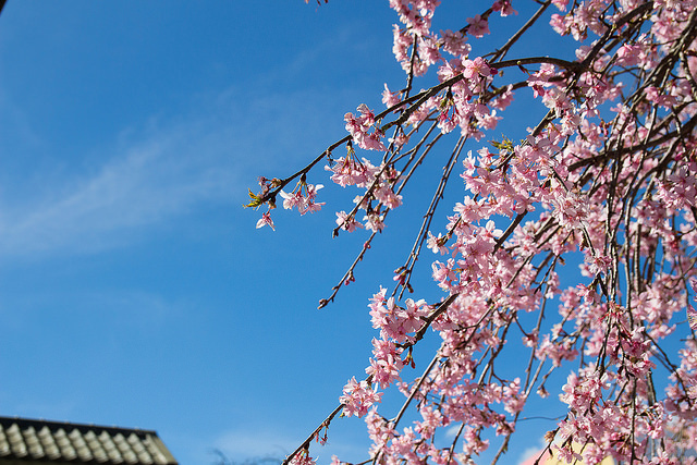 草坪頭櫻花季
