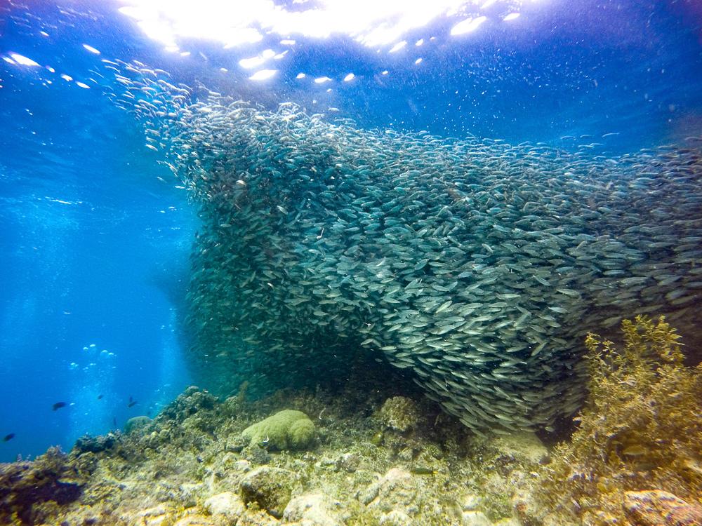薄荷島沙丁魚