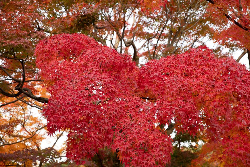 東福寺楓葉