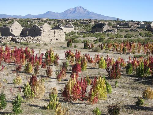 quinoa-field