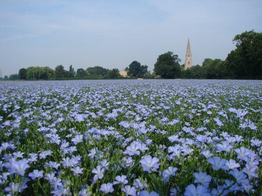 Linseed flax seed field
