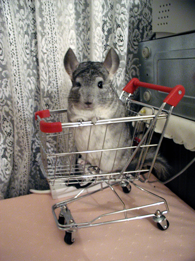 Chinchilla05