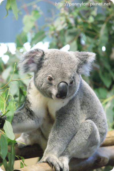Koala06.JPG