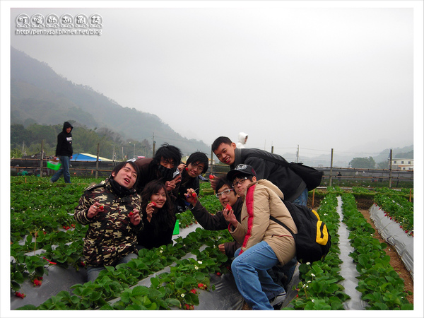 苗栗大湖草莓園-採草莓