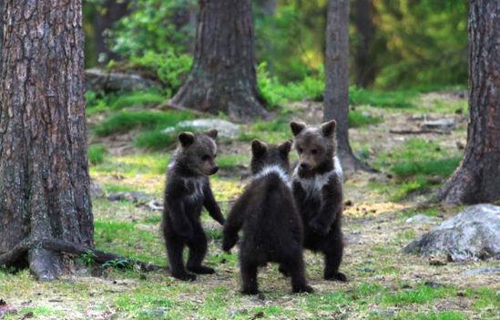 小熊吉格舞