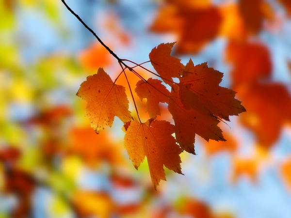 Fall_Maple_1600.jpg