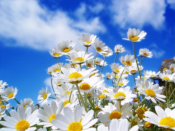 Spring_Daisy's_1600.jpg