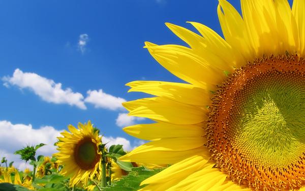 Sunflower_1920.jpg