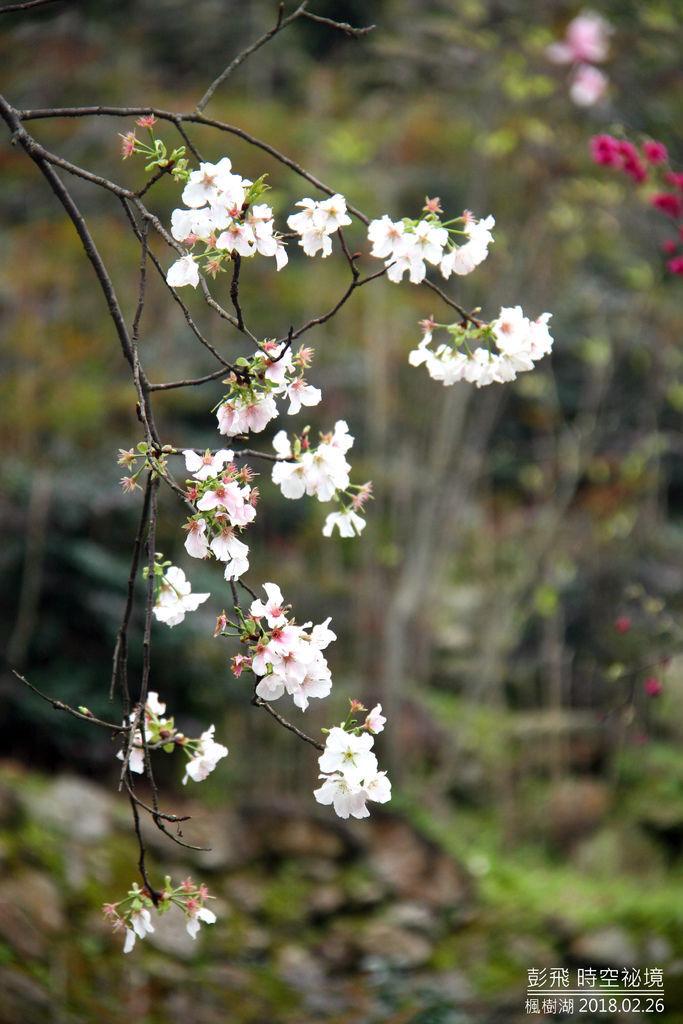 新北市淡水『楓樹湖木蓮花』