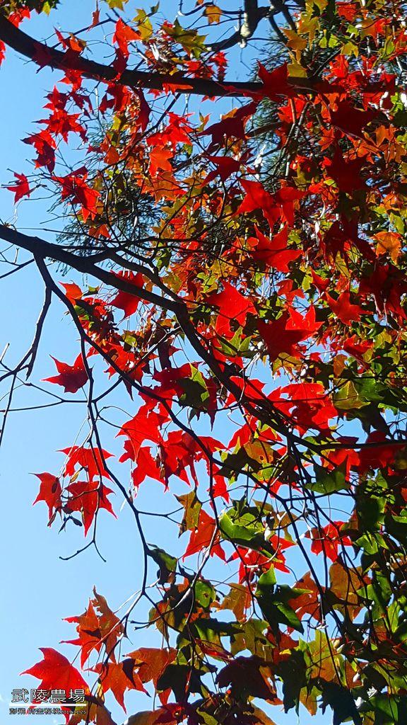 《武陵農場》【台中美景】2019秋天的最後幾天賞銀杏與紅楓~