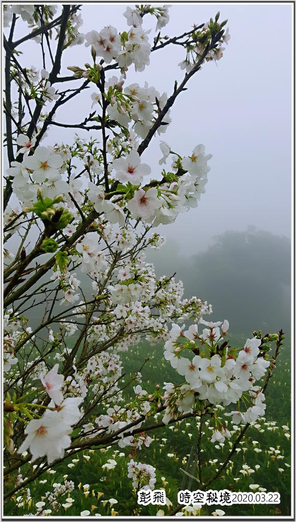 竹子湖三月的海竽與櫻花