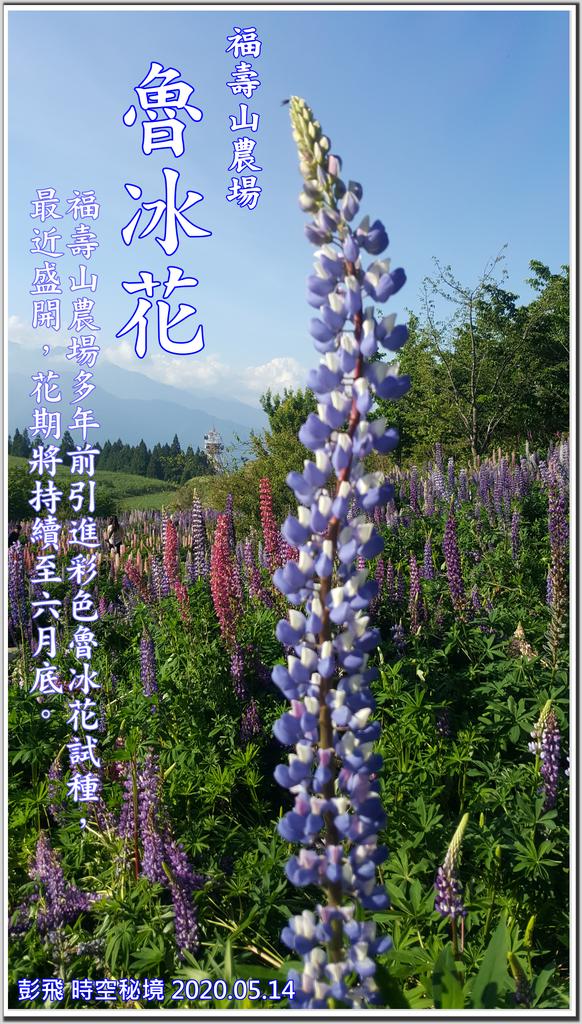 【魯冰花】-『福壽山農場』
