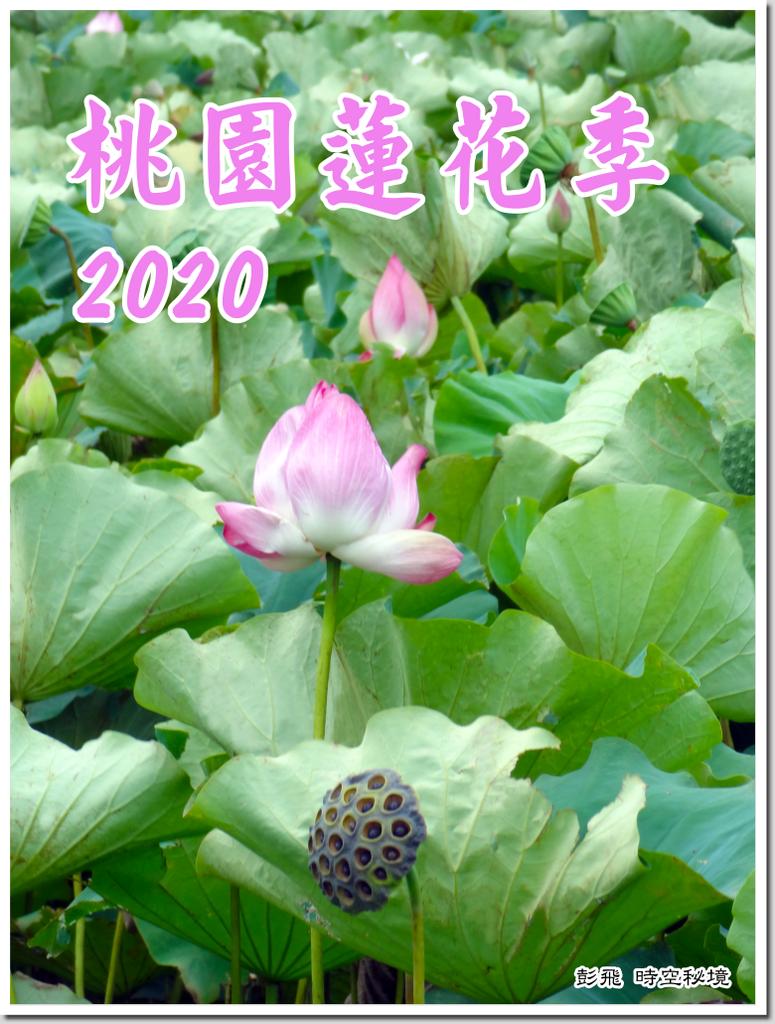 《桃園蓮花季》【桃園‧觀音美景】2020觀音蓮花季開鑼了~