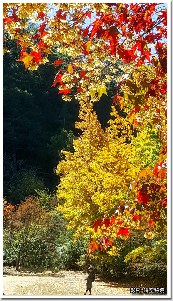 2020.11.26《武陵農場》楓葉紅、銀杏黃、菊花開、落羽松轉紅,不出國大賞深秋美景~~
