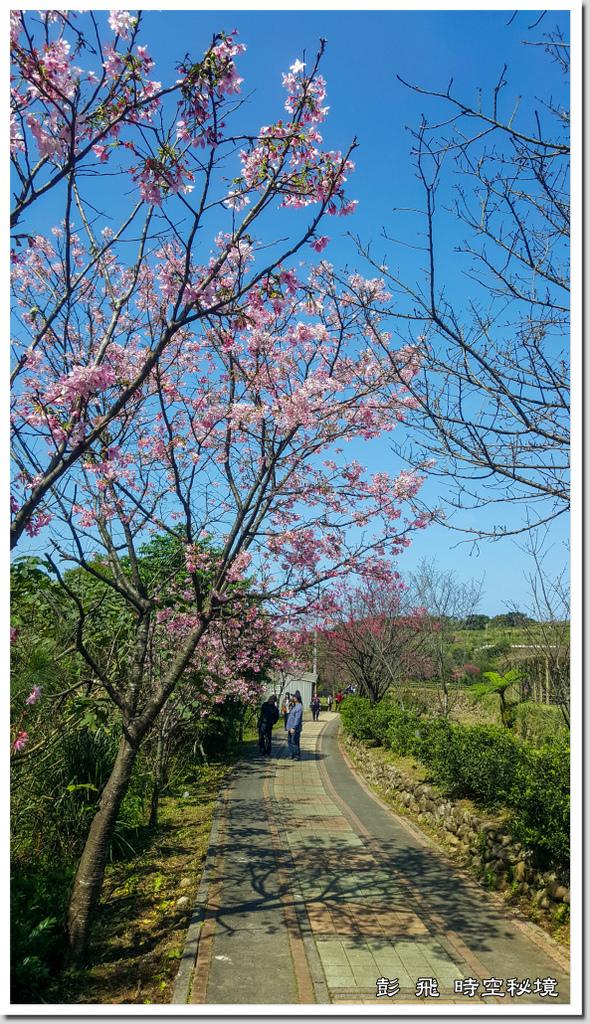 《三生步道櫻花》【新北.三芝賞櫻】2021.02.18