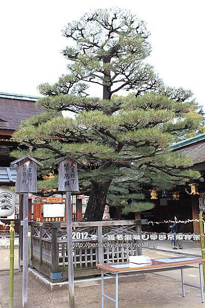 25.天皇種植的松樹