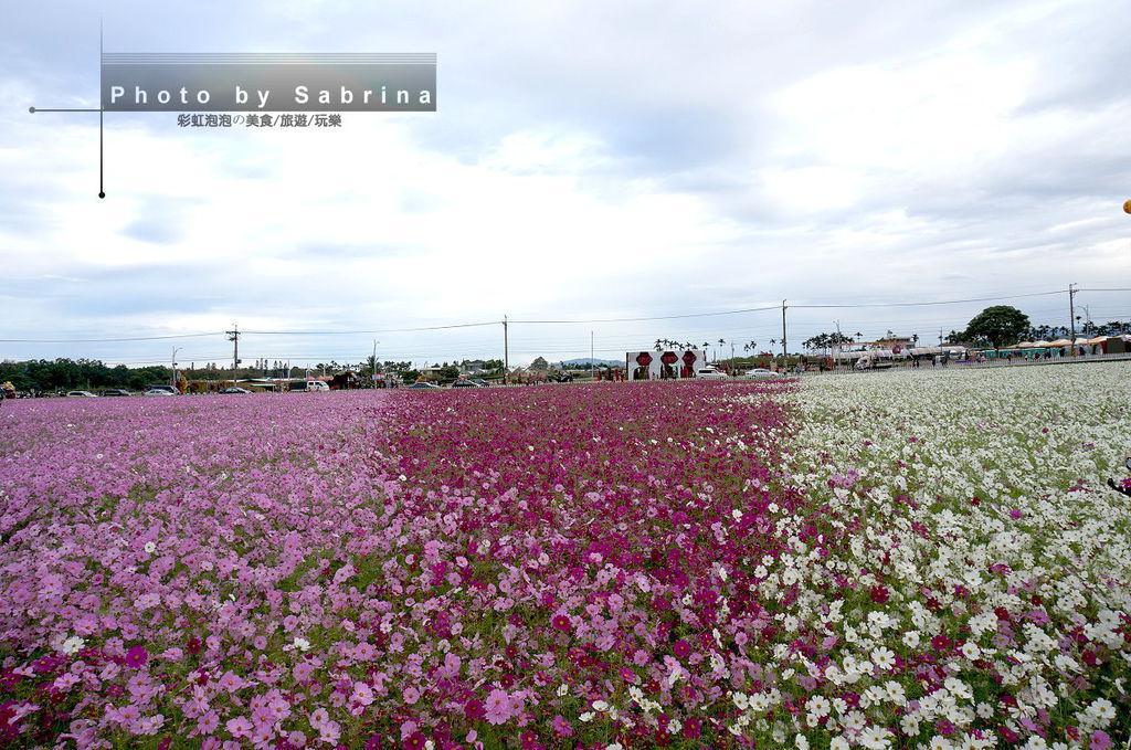 39.2014新社花海-波斯菊