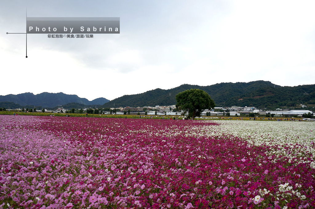 41.2014新社花海-波斯菊