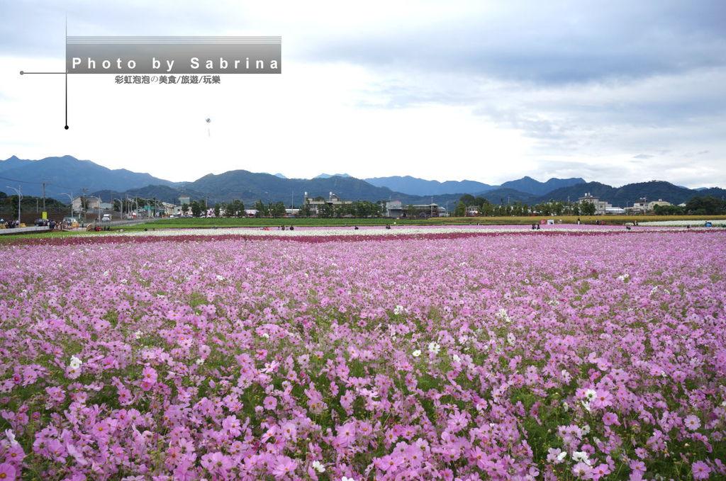 34.2014新社花海-波斯菊