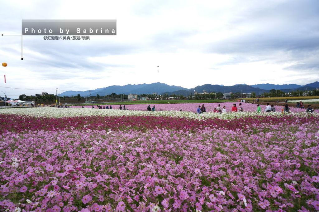 38.2014新社花海-波斯菊