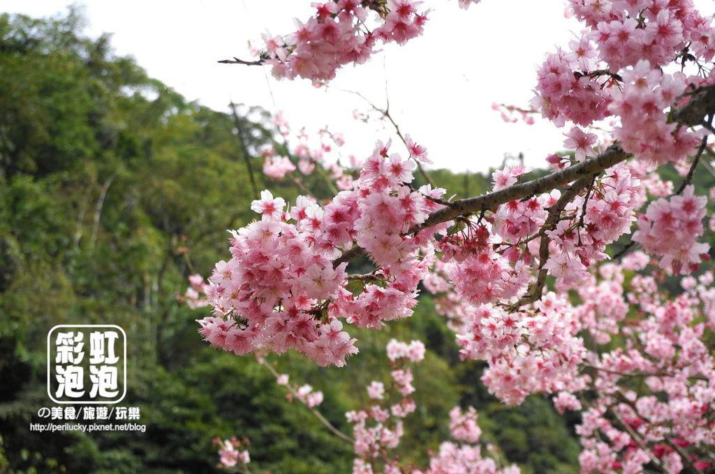 5.和雅谷餐廳-櫻花.jpg