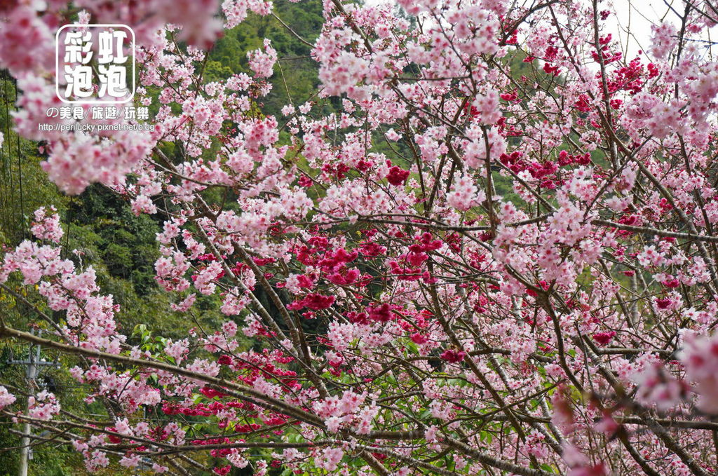 4.和雅谷餐廳-櫻花.jpg