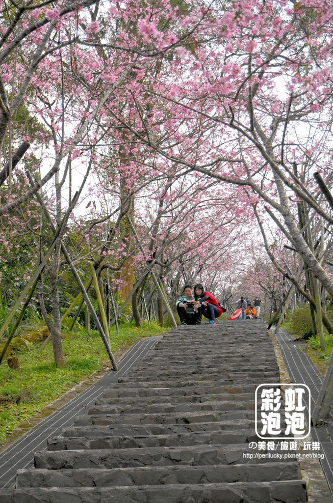 5.台大茶園-櫻花步道.jpg