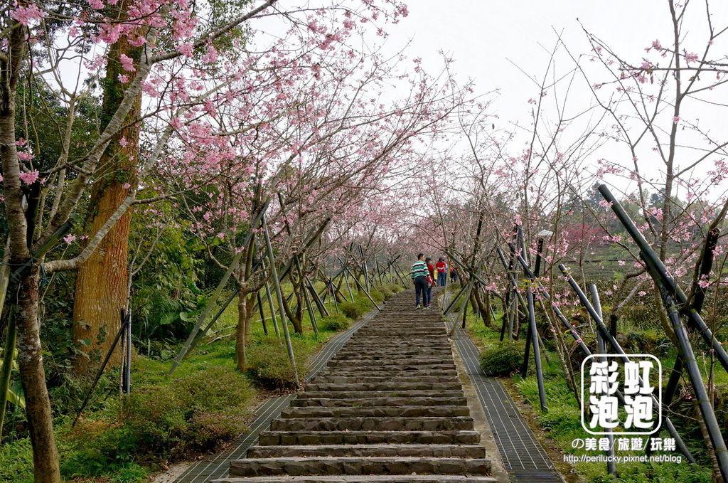 6.台大茶園-櫻花步道.jpg