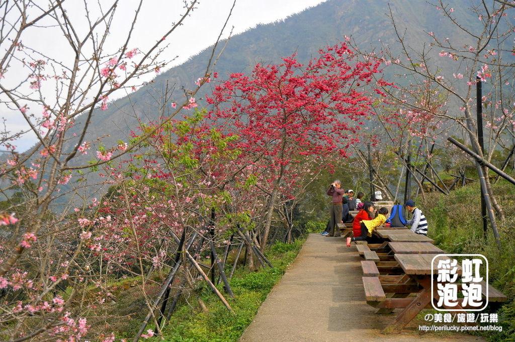 10.台大茶園-山櫻、八重櫻.jpg