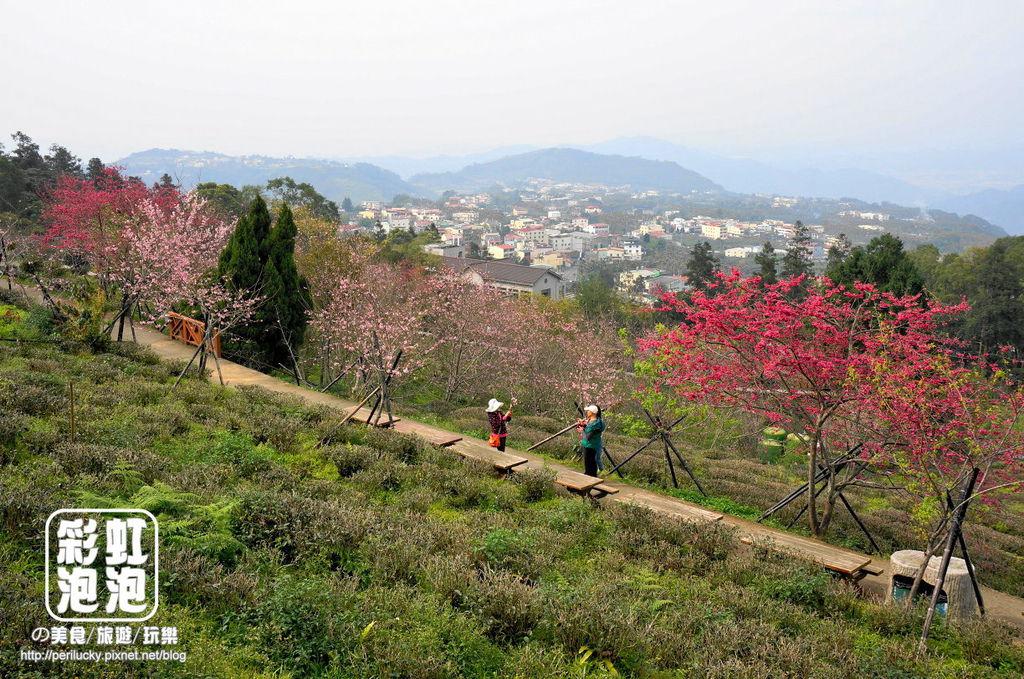 12台大茶園-河津櫻、八重櫻.jpg