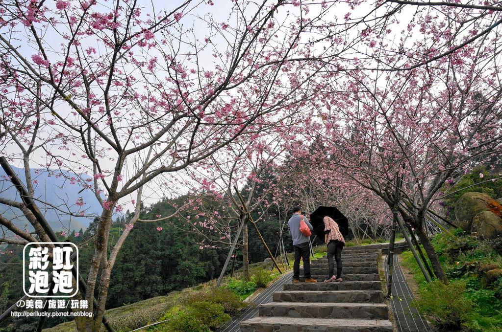 13.台大茶園-河津櫻.jpg