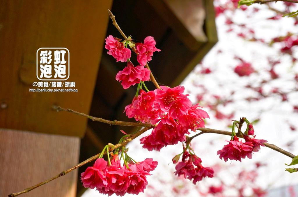 18.台大茶園-八重櫻.jpg