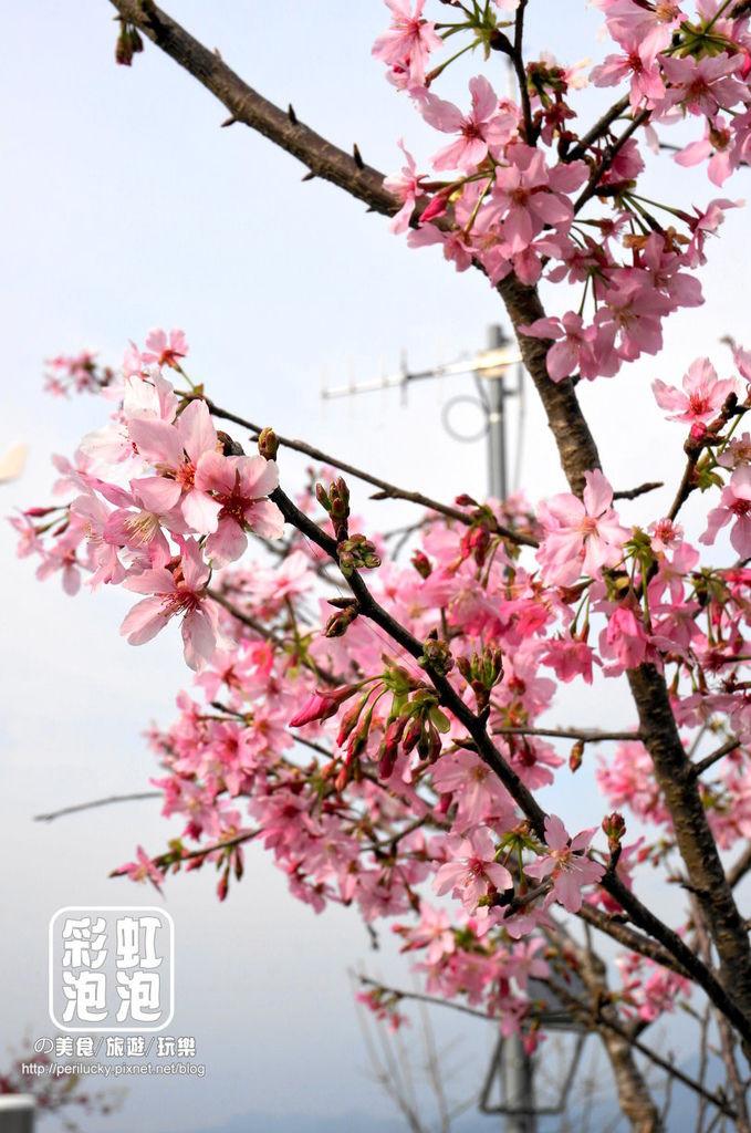 21.台大茶園-河津櫻.jpg