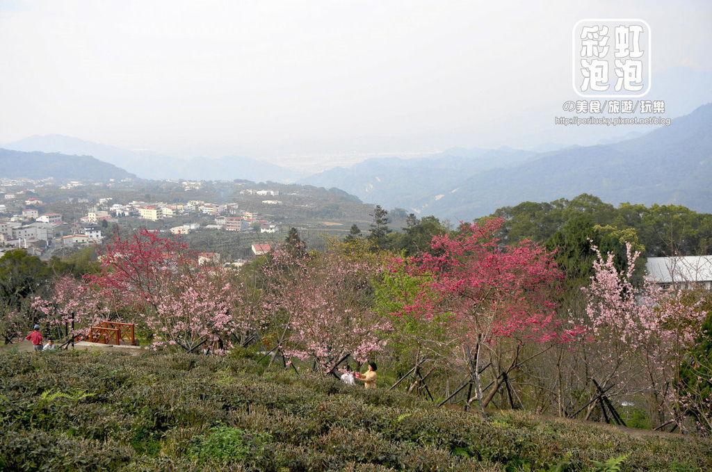 24.台大茶園-河津櫻花季.jpg
