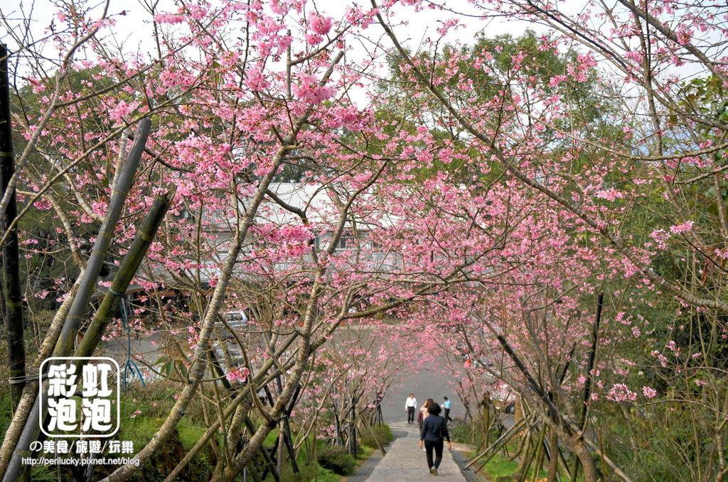 1.台大茶園-河津櫻.jpg