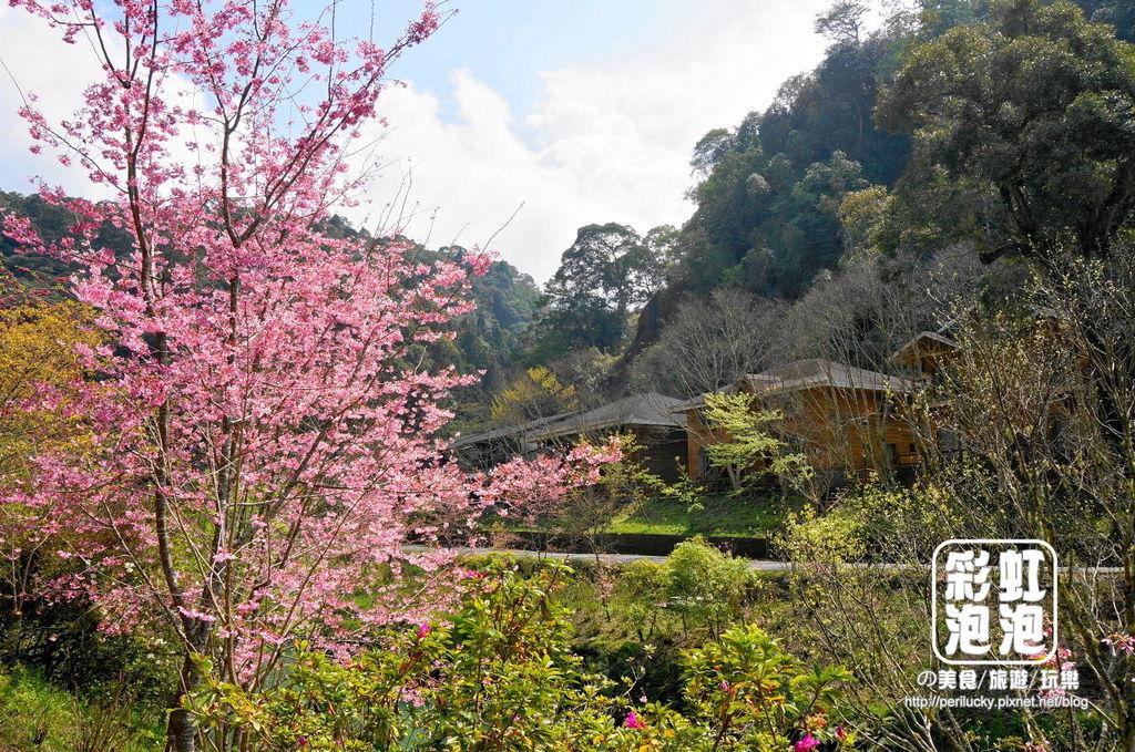 8.杉林溪森林生態渡假園區-櫻花季.jpg