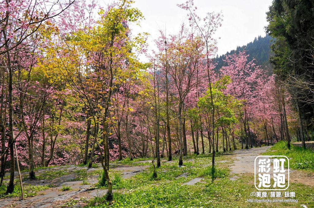11.杉林溪森林生態渡假園區-櫻花季.jpg