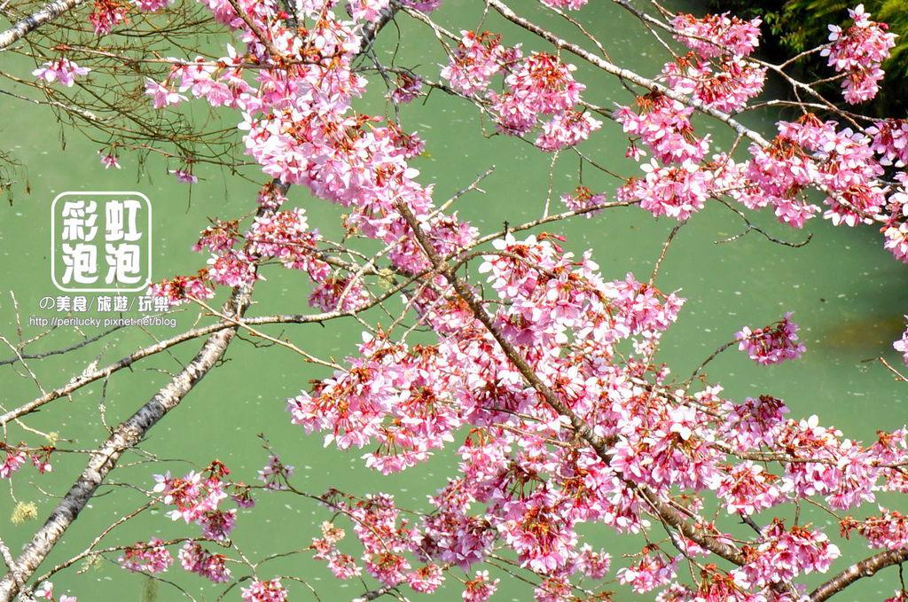 10.杉林溪森林生態渡假園區-櫻花季.jpg
