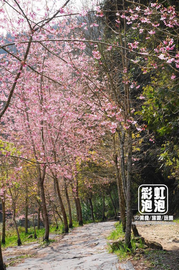 12.杉林溪森林生態渡假園區-櫻花季.jpg