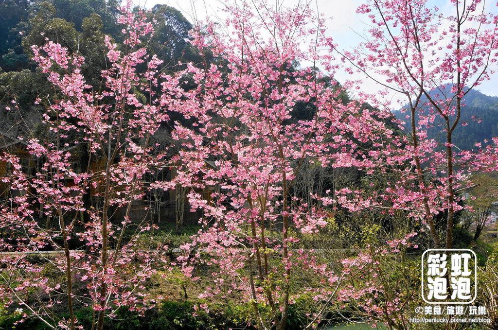 7.杉林溪森林生態渡假園區-櫻花季.jpg