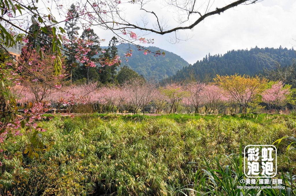 16.杉林溪森林生態渡假園區-櫻花季.jpg