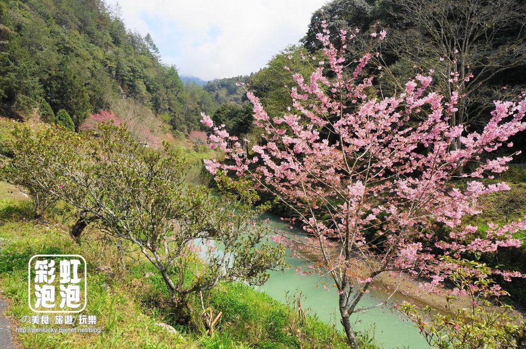 9.杉林溪森林生態渡假園區-櫻花季.jpg