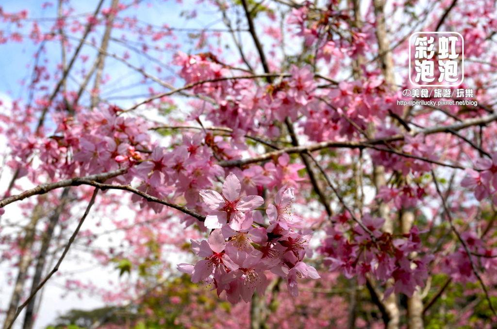 14.杉林溪森林生態渡假園區-櫻花季.jpg