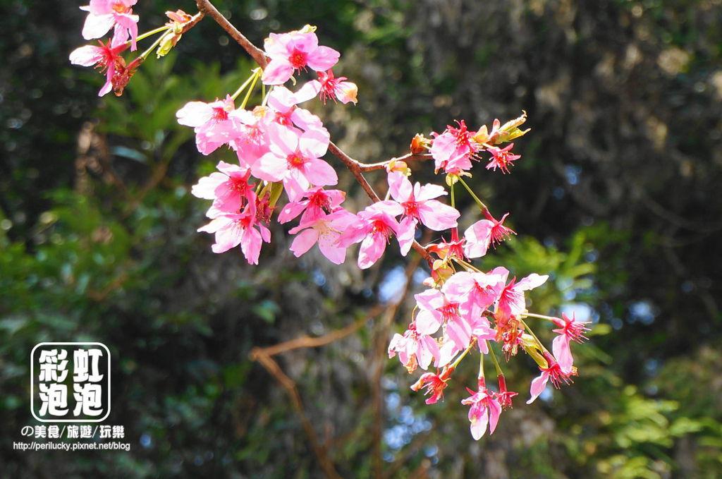 13.杉林溪森林生態渡假園區-櫻花季.jpg