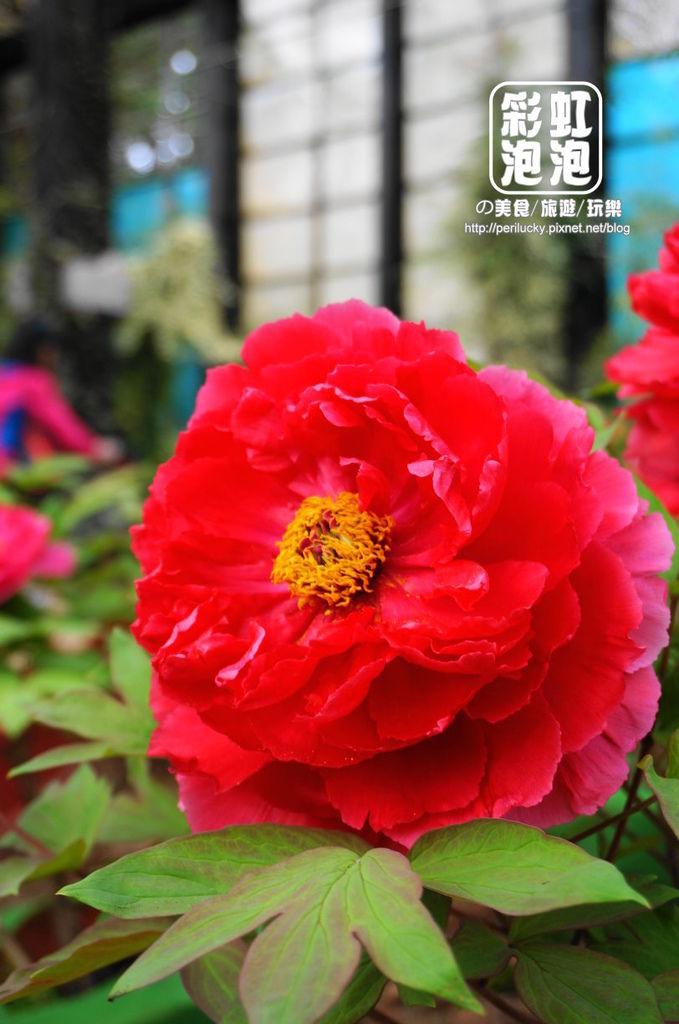 38.杉林溪森林生態渡假園區-牡丹花.jpg