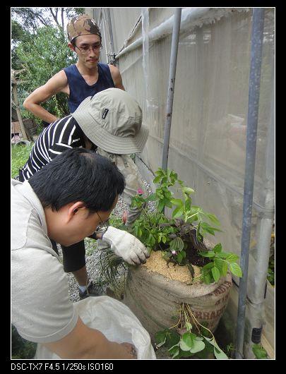 麻袋種植法5.jpg