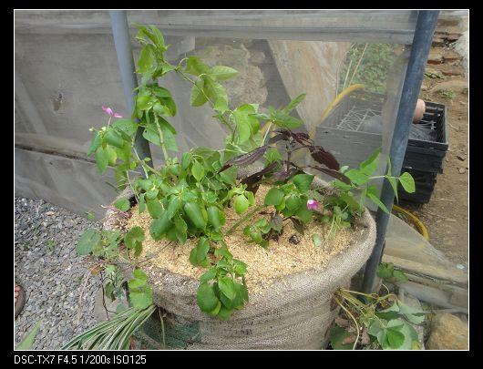 麻袋種植法8.jpg