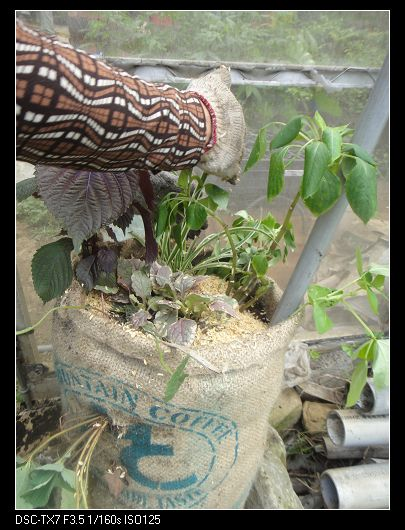 麻袋種植法4.jpg