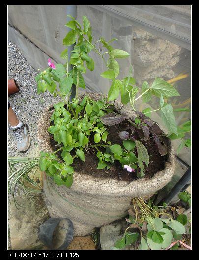 麻袋種植法1.jpg